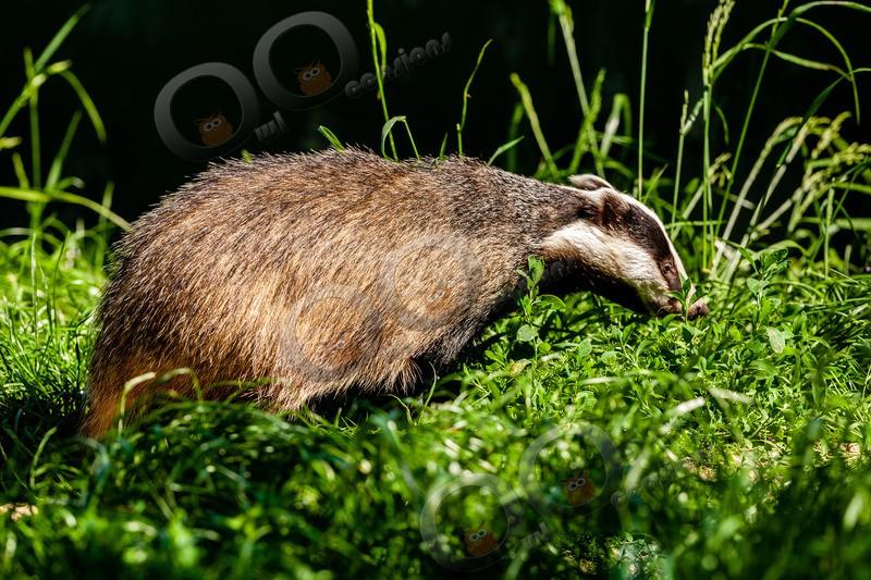 badger Meles meles-6525 - UK Wildlife
