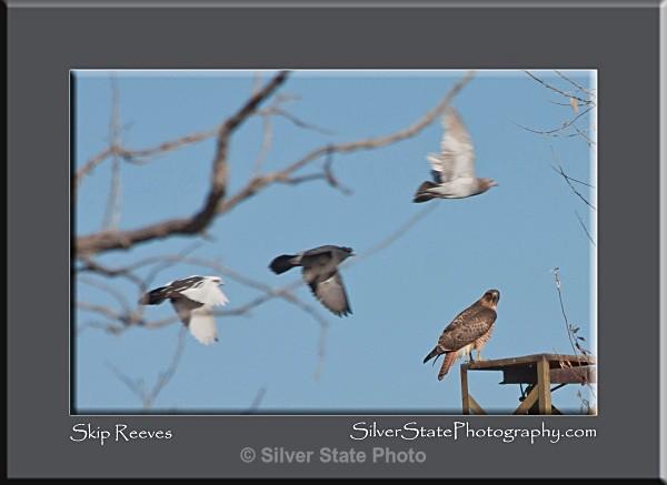 Hawk & Pigeons - Nevada Birds