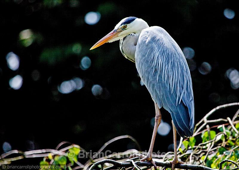 Grey Heron - Wildlife