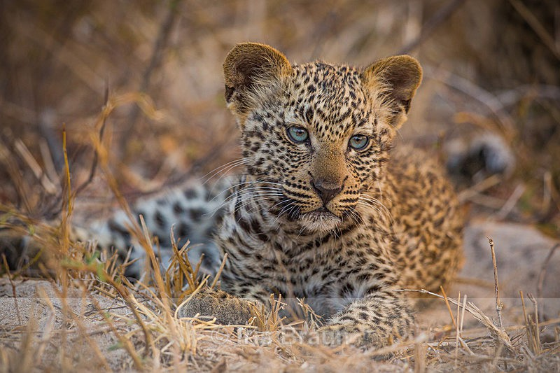 Blue Eyes - Leopard