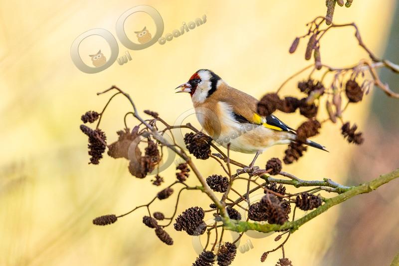 goldfinch Carduelis carduelis-3158 - UK birds