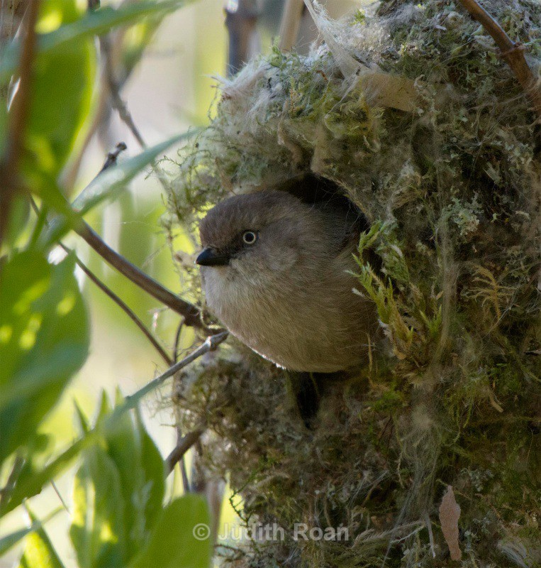 Bushtit female in nest - Backyard Birds of the Pacific Northwest