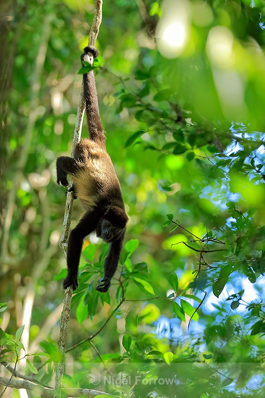 Howler Monkey hanging by tail, Manuel Antonio, Costa Rica - Monkey