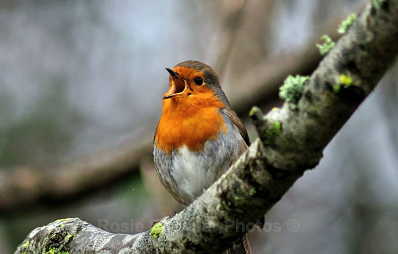 Robin singing on a branch in winter - Birds and Wildlife