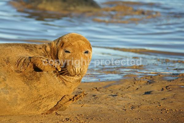 Grey Seal Posing (Donna Nook) - 2833 - Donna Nook