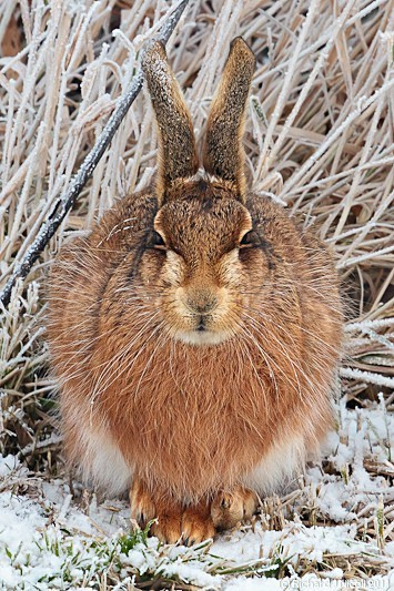 Brown Hare (Lepus europaeus) - LRPS Panel