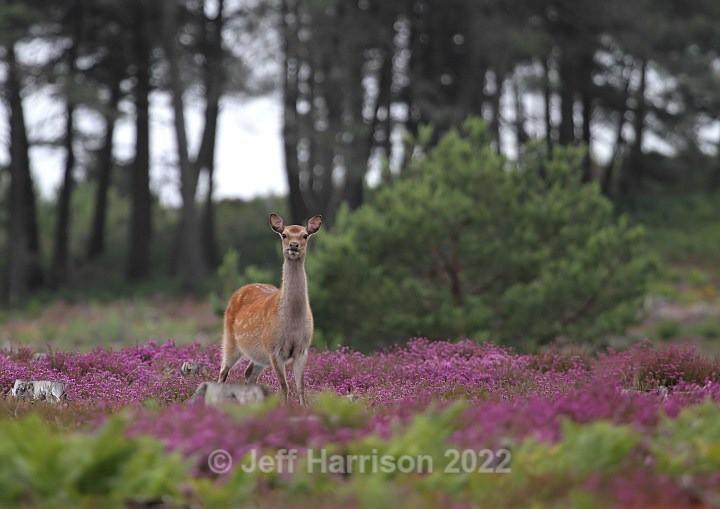 Sika Deer (image Sika D 01) - Mammals