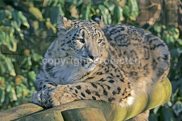 Snow Leopard - Hara - Snow Leopards