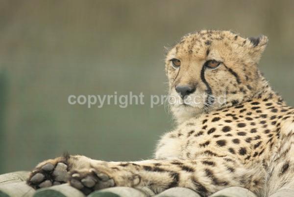 Mephisto, cheetah at WHF