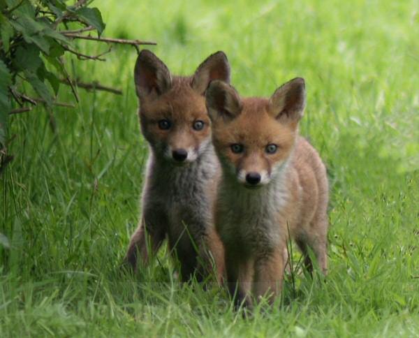 515 Fox cubs - OTHER WILDLIFE (UK)