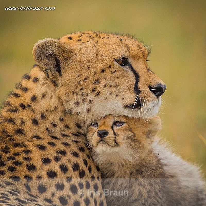 International Cheetah Day - Cheetah