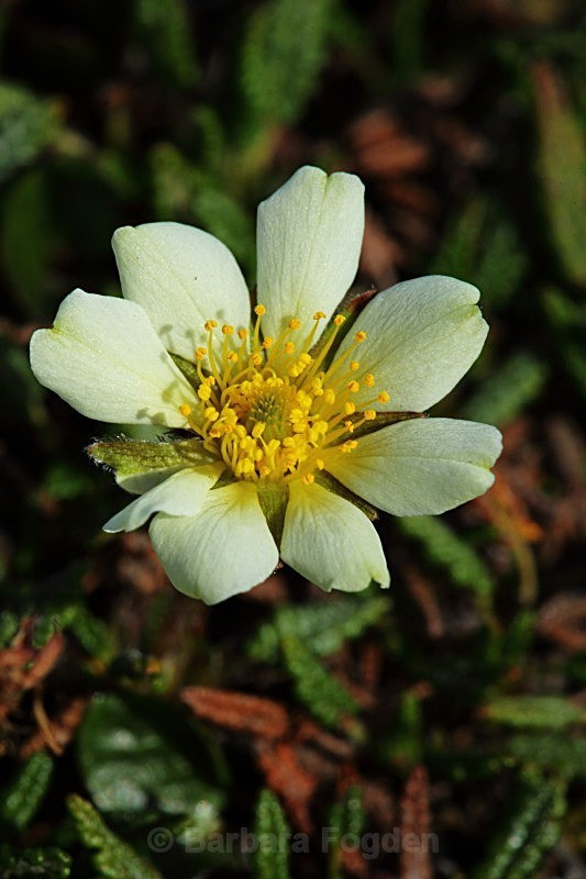 Mountain Avens 2439 - Colours of Svalbard