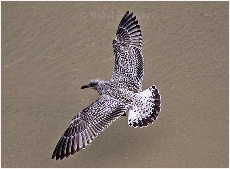 Herring Gull - Gulls
