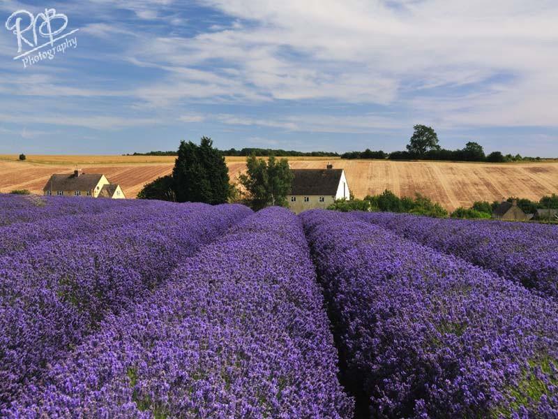 Snowshill Lavender 1 - Other UK Landscapes