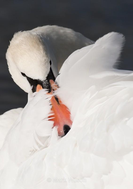 Mute Swan - Swans, Geese & Ducks