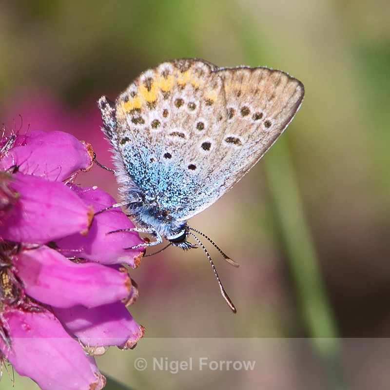 Silver-studded Blue - INSECTS
