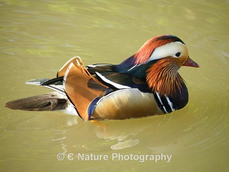 Mandarin Duck - Birds