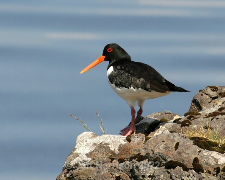 Oystercatcher (image Oyc 03) - Waders, Gulls & Seabirds