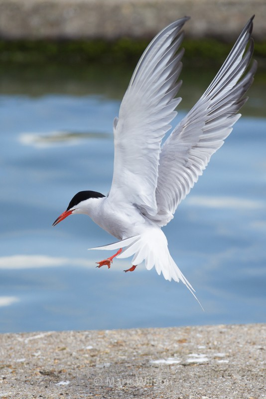 Common Tern - Seabirds