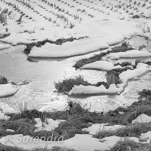 Winter Rice 5 - Rice Fields in Winter