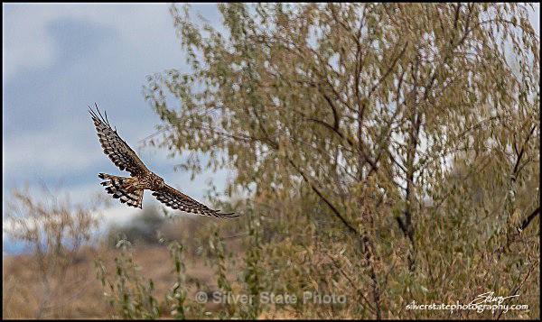 IMG_2268-1-a-web - Nevada Birds