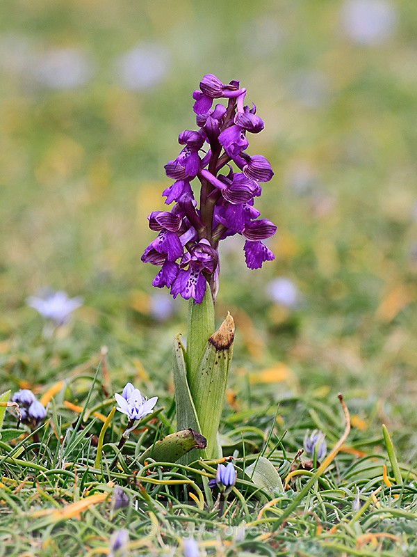 Early Purple Orchid - PLANTS
