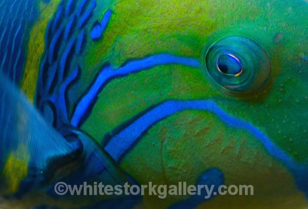 Goldbar Wrasse - Up Close !