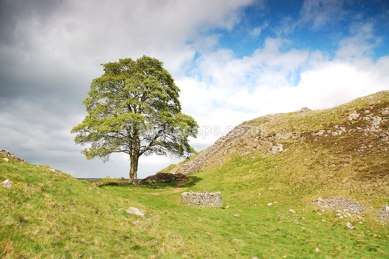 Robin Hood Prince of Thieves Sycamore Tree at Sycamore Gap on Hadrains Wall