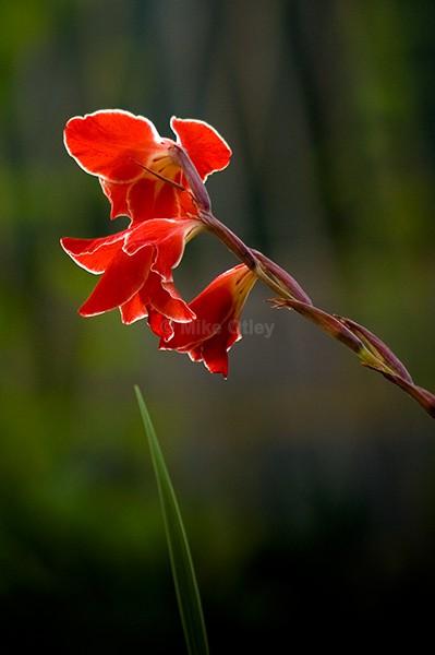 Gladiolus - Flora & Fauna...