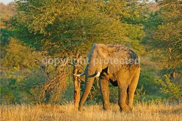 Elephant - Timbavati, South Africa - African Wildlife