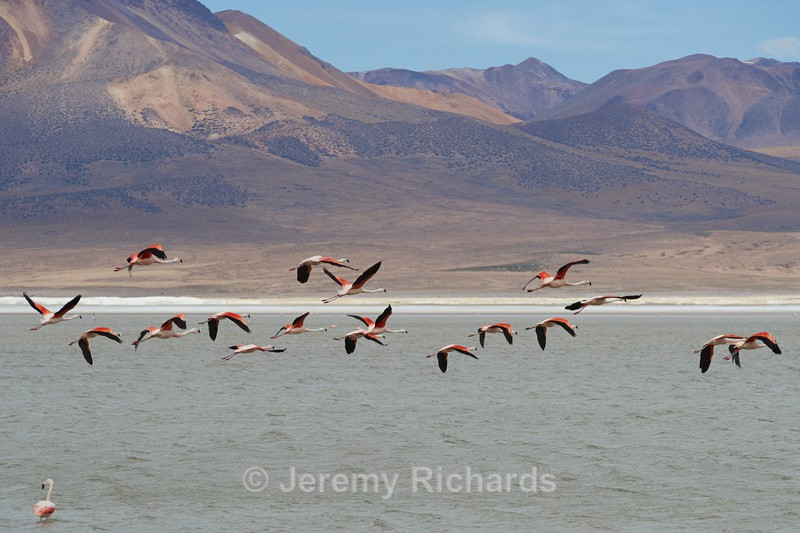 Chilean Flamingos in Flight - Altiplano of North-East Chile
