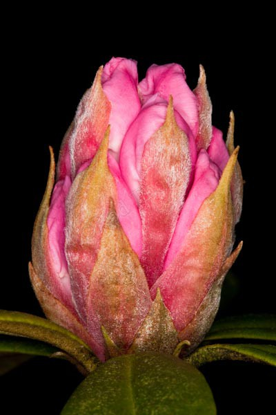 Rhododendron Bud - Plants and Flowers