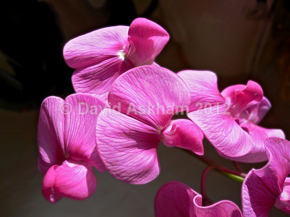 Sweet pea - Gardens & plants