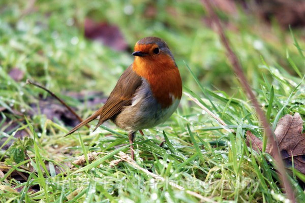 Autumn Robin - UK Wildlife