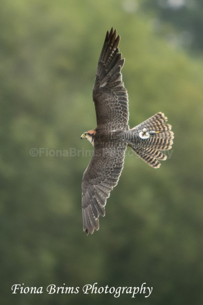 ICBP-20 - Birds of Prey