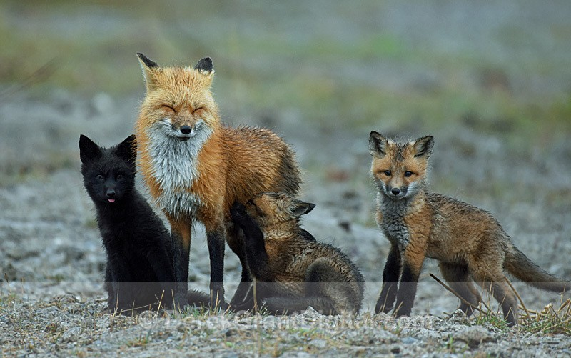 Vulpes Vulpes Vixen Kits Red Fox black Fox Kit - Mammals, Reptiles & Amphibians