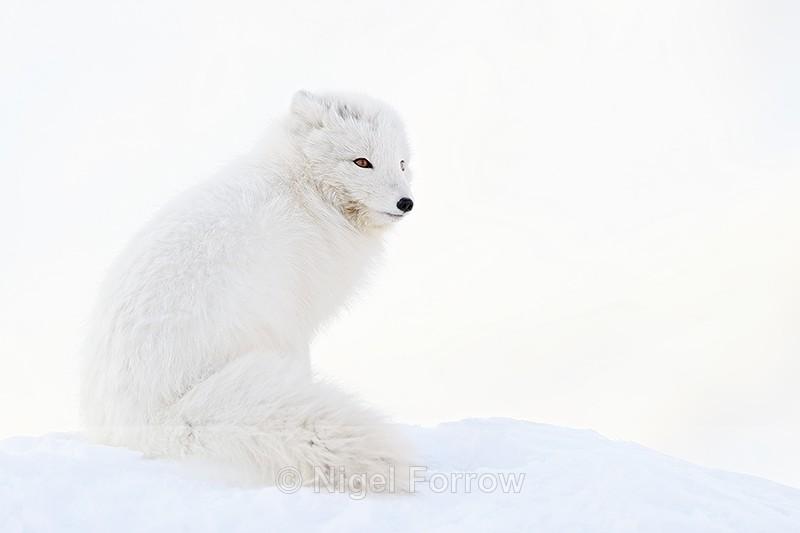 White Arctic Fox sitting, Svalbard, Norway - Arctic Fox