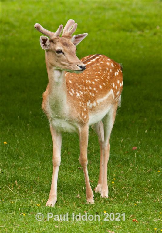 Fallow Deer - Nature - Birds and Wildlife