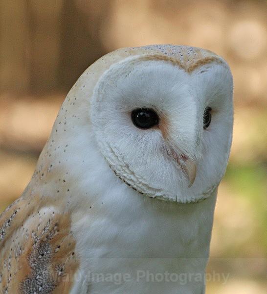 Barn Owl - BIRDS