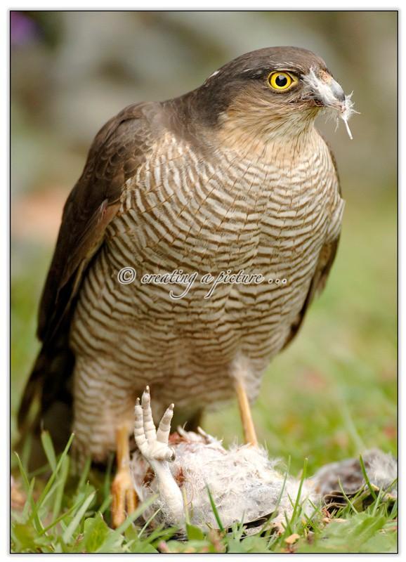 Sparrowhawk Feeding - Nature