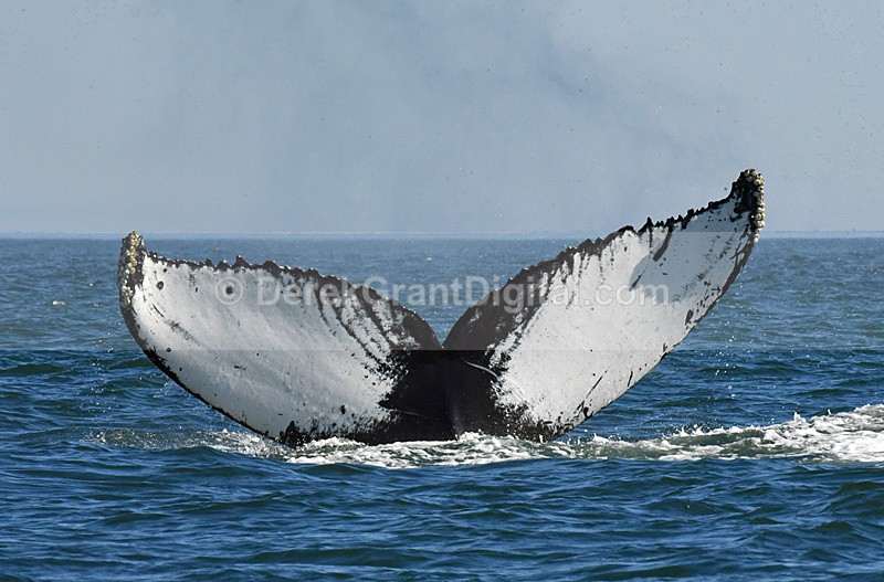 Humpback Whale Megaptera novaeangliae tail dive - Bay of Fundy Whales
