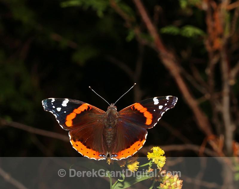 Red Admiral - Butterflies & Moths of Atlantic Canada