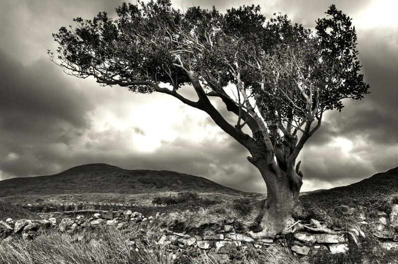 Lone Tree - West of Ireland