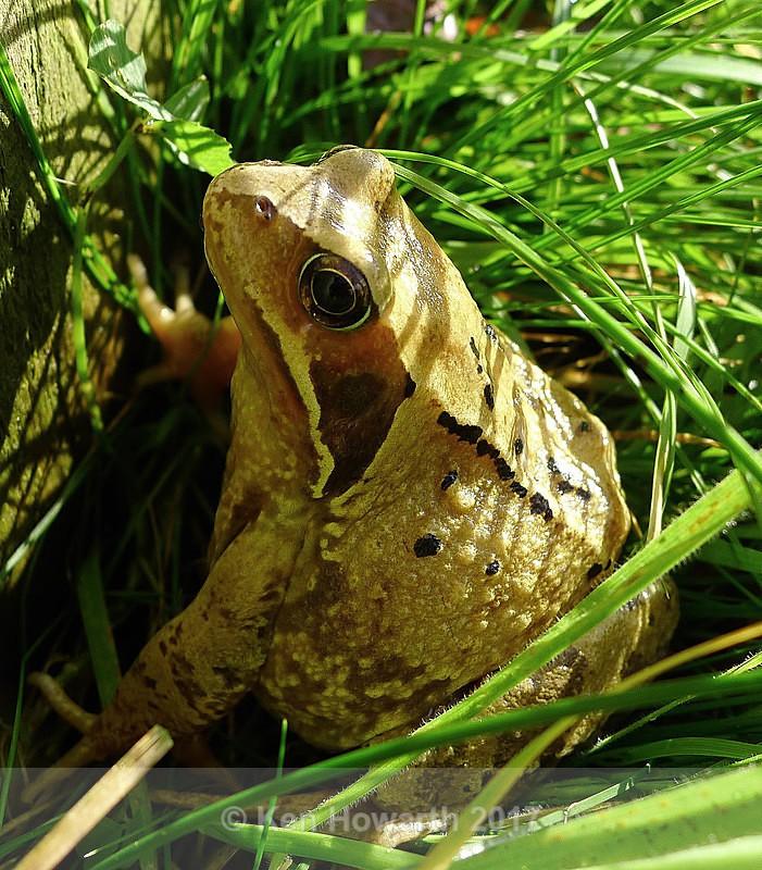 Frog warming himself in late autumn sunshine - Natural World