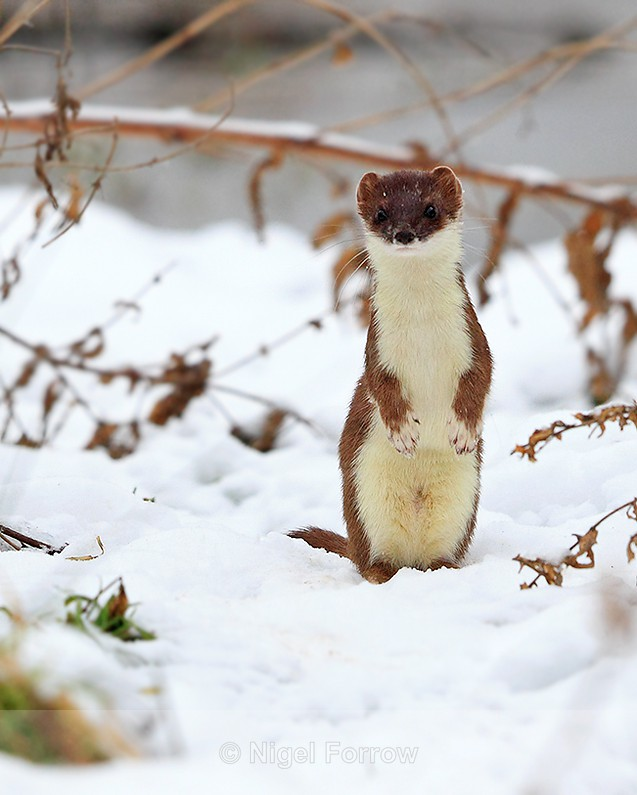 An inquisitive Stoat standing on it's hind legs in the snow - Stoat