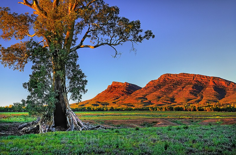 Cazneaux Tree and Wilpena Pound 2 HDR - FLINDERS RANGES PHOTOS