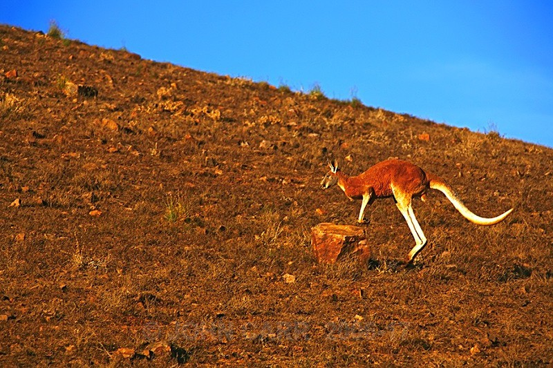 Red Kangaroo Rock Leap 1 - ANIMAL AND BIRD PHOTOS
