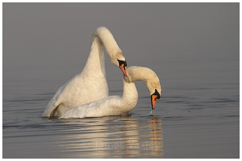 3 Mute Swan Courtship - The British Wildlife Photography Awards 2009 to 2014