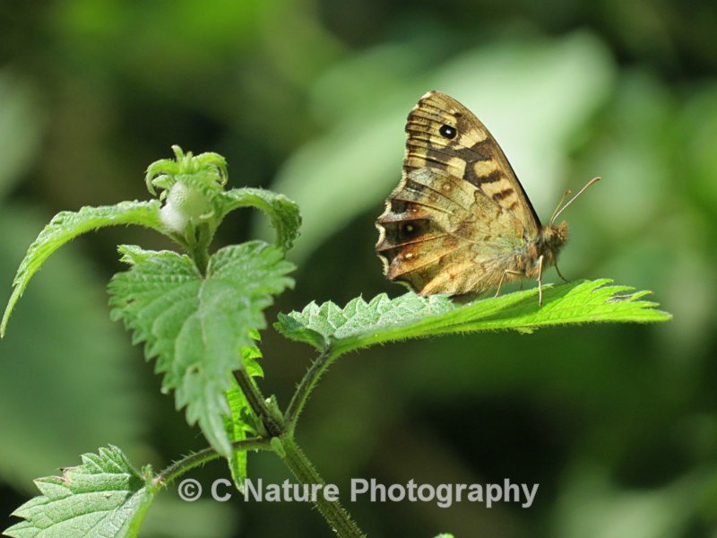 Speckled Wood - Insects & Creepy Crawlies