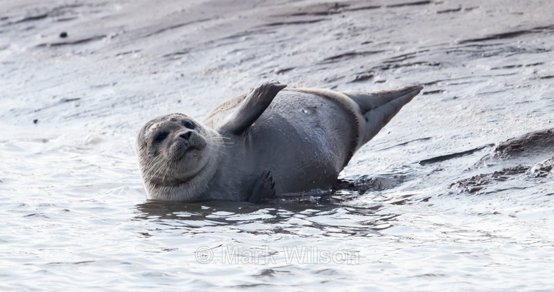 Common Seal - Animals